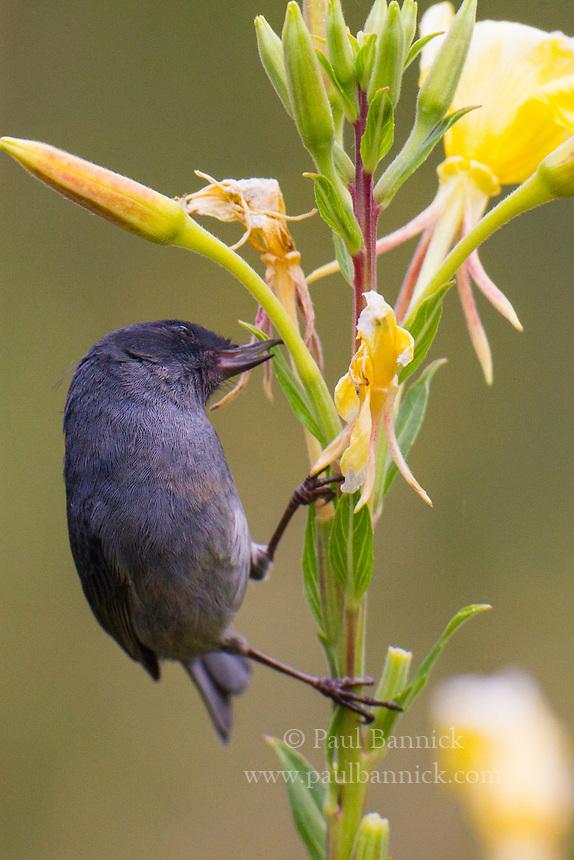 Slaty Flower-piercer, Diglossa plumbea