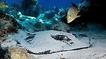 Dasyatis americana, Southern stingray, Florida Keys
