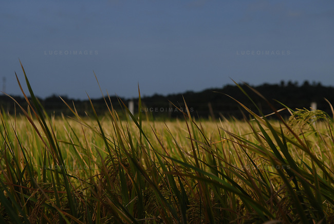 Rice field in Ilocos Norte, Philippines..**For more information contact Kevin German at kevin@kevingerman.com