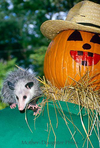 Baby possum and pumpkin man | Mother-Daughter Press