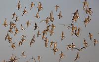 Dunlin Flock; Calidris alpina;  NJ, Delaware Bay