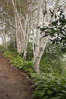 Birch trees, path, hosta perennials, shade garden, Betula