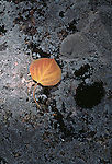 A single fall-colored aspen leaf on lichen covered rock, Rocky Mtn Nat'l Park, CO