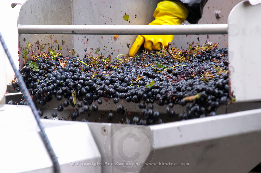 Hand selecting the bad grapes at a sorting table. Chateau Belle-Garde, Bordeaux, France