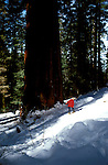 CA: Yosemite National Park, Tuolomne Big Tree Grove, Sequoias      .Photo Copyright: Lee Foster, lee@fostertravel.com, www.fostertravel.com, (510) 549-2202.cayose235
