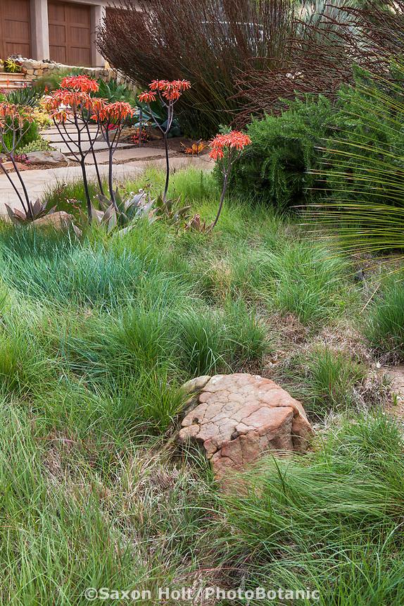 California native grass lawn substitute front yard with Aloe in summer-dry garden Santa Barbara California