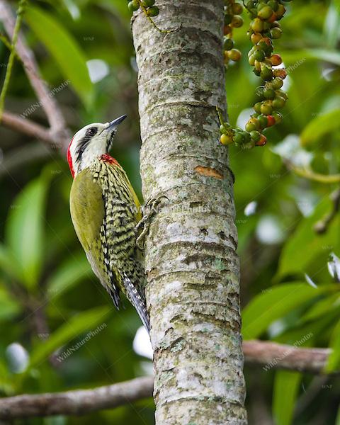 An endemic Cuban Green Woodpecker (TXiphidiopicus percussus) on a palm tree trunk in Hacienda Cortina, Pinar del Rio Province, Cuba