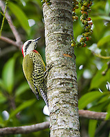 Cuba's endemic / endangered birds