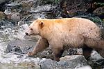 Kermode Bear, British Columbia, Canada