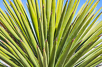 Yucca in Alpine Texas