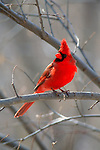 Northern Cardinal perched in a tree along the Platte River.