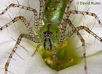 "0205-07nn  Green Lynx Spiderling  - Peucetia viridans  ""Eastern Variation"" - © David Kuhn/Dwight Kuhn Photography"