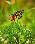Monarch butterfly feeding on an Orange wildflower. Image taken with a Nikon D850 camera and 300 mm f/2.8 VR lens + 2.0 TC-EIII teleconverter