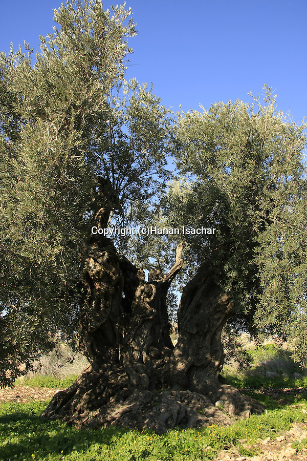 Israel, Lower Galilee. Ancient Olive tree in Shfaram