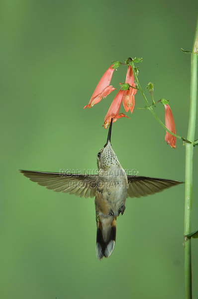 Rufous Hummingbird, Selasphorus rufus, immature in flight feeding on Penstemon, Paradise, Chiricahua Mountains, Arizona, USA, August 2005