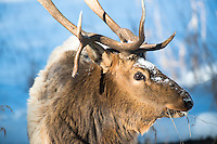 A bull elk forages above the Black Canyon of the Yellowstone River in Yellowstone National Park.