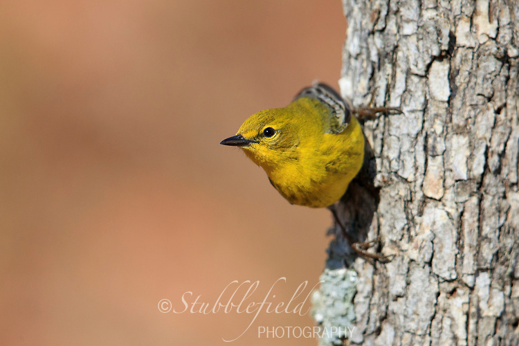 Pine Warbler (Setophaga pinus pinus), male in breeding plumage at Connetquot River State Park, Islip, New York.