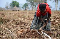 ETHIOPIA Gambela, Kambata tribe, small scale farmer , woman harvest cassava / AETHIOPIEN Gambela, Kambata Ethnie, wurde hier während der Derg Zeit angesiedelt, kleinbäuerliche Landwirtschaft, Frau erntet Maniok