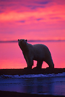 Polar Bear walking along shoreline of Beaufort Sea at sunrise, Arctic National Wildlife Refuge, Alaska.