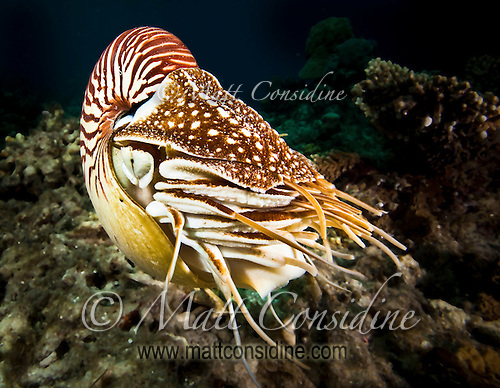 The Nautilus species has been in existence for around 550 million years and so is one of the longest surviving species on earth, Palau Micronesia. (Photo by Matt Considine - Images of Asia Collection) (Matt Considine)