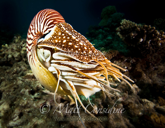 The Nautilus species has been in existence for around 550 million years and so is one of the longest surviving species on earth, Palau Micronesia. (Photo by Matt Considine - Images of Asia Collection)