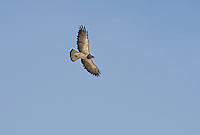 542400025 a wild swainsons hawk buteo swainsoni in fligt near bishop inyo county california