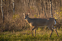 White-tailed buck walking along the forest's edge in northern Wisconsin.