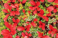 Red Bearberry, cranberry, tundra, Denali National Park, Alaska