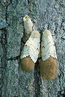 Gypsy Moth; Lymantria dispar; females laying eggs on trunk; NJ, Great Swamp