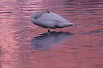 Trumpeter swan, Skagit River estuary, Washington
