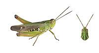 Stripe-winged Grasshopper - Stenobothrus lineatus - male