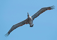 Brown pelican, Pelecanus occidentalis, flying over the Pacific coast at Mendocino, California