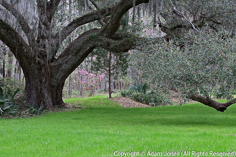 Live oak, Magnolia Plantation, Charleston, South Carolina