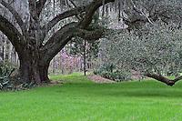 Live oak, Magnolia Plantation, Charleston, South Carolina