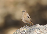 Brown Rock-chat - Oenanthe fusca