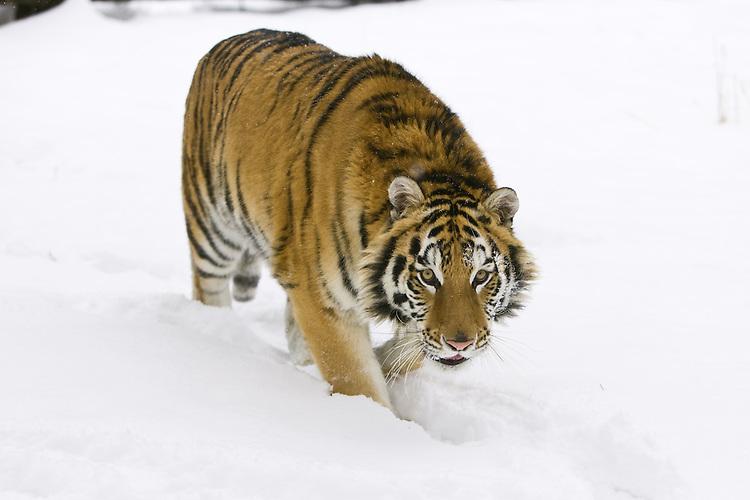 Siberian Tiger walking through the snow - CA