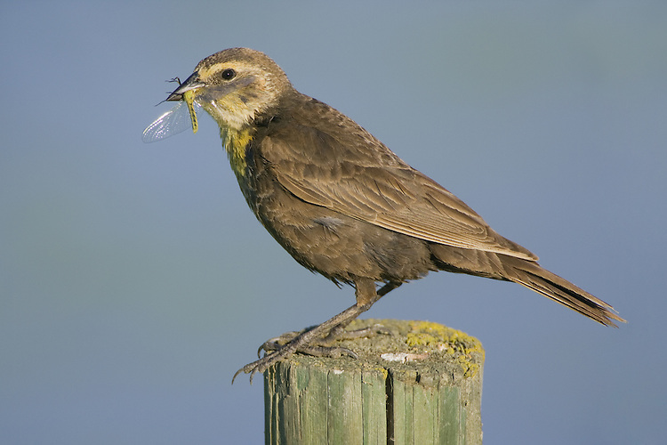 Female Yellow-headed blackbird with a dragonfly