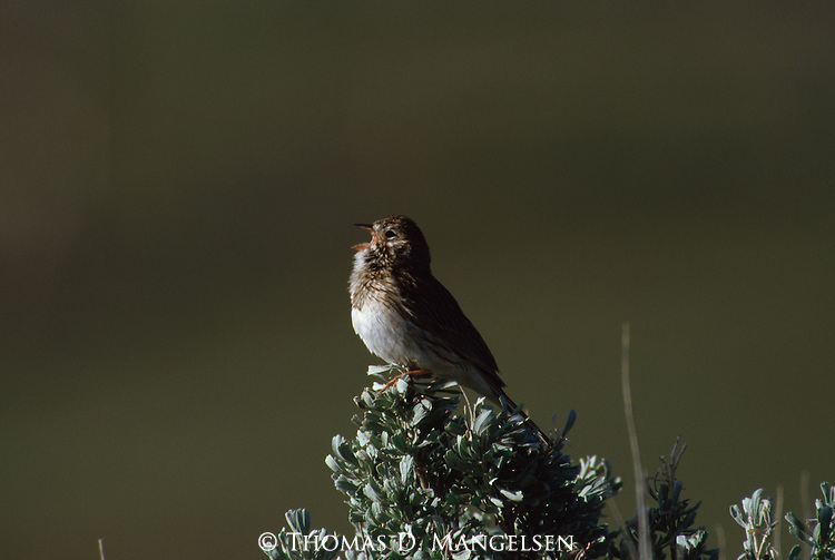 Vesper Sparrow singing from its perch at the top of a shrub.