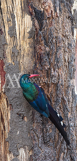 The green wood hoopoe is a beautiful bird, but difficult to photograph at close range.