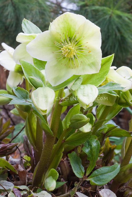 Helleborus x nigercors HGC Green Corsican