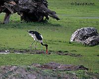 0209-08zz  Saddle-billed Stork, Ephippiorhynchus senegalensis © David Kuhn/Dwight Kuhn Photography