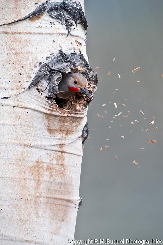 Northern Flicker making a nest