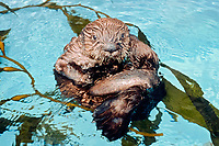California Southern sea otter, Enhydra lutris nereis, endangered species, Monterey Bay Aquarium, California c