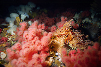 Giant Pacific Octopus (Octopus dolfleini) hides among Pink Soft Corals underwater in Browning Pass, off northern Vancouver Island, British Columbia, Canada.