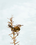 Bewick's Wren perched in a dead thorny tree branch