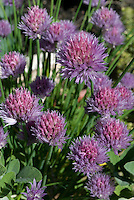 Chive blossoms in a home herb garden.