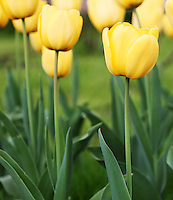 Stock image of yellow Tulip flowers field.