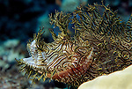 Milne Bay, Papua New Guinea; Lacy Scorpionfish (Rhinopias aphanes), to 24 cm (9 in.), color variations from yellow, brown, green to nearly black, all with white spot below eye, 'walk' with pectoral and pelvic fins, often associated with crinoids of seaweed reefs in 5-30 meters, found in S. Japan to N.E. Australia and New Caledonia , Copyright © Matthew Meier, matthewmeierphoto.com All Rights Reserved