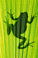 Pacific Tree Frog silhouette (Hyla regilla)..Southern British Columbia. Canada..Spring.