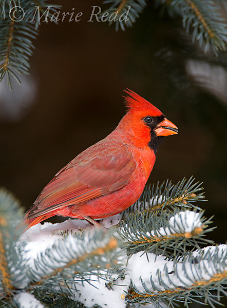 Northern Cardinal (Cardinalis cardinalis) perched in conifer eating a sunflower seed, New York, USA